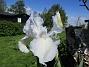 Iris Iris Germanica. De var lite sega i starten. De första åren blev det inga blommor. Men nu blir det mer och mer. De breder ut sig också. Doften är underbar! 2020-05-27 Iris_0003