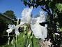 Iris Germanica. De var lite sega i starten. De första åren blev det inga blommor. Men nu blir det mer och mer. De breder ut sig också. Doften är underbar!                                (2020-05-27 Iris_0005)