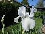 Iris Germanica. De var lite sega i starten. De första åren blev det inga blommor. Men nu blir det mer och mer. De breder ut sig också. Doften är underbar!                                (2020-05-27 Iris_0006)