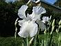 Iris Germanica. De var lite sega i starten. De första åren blev det inga blommor. Men nu blir det mer och mer. De breder ut sig också. Doften är underbar!                                (2020-05-27 Iris_0007)