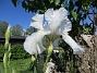 Iris Iris Germanica. De var lite sega i starten. De första åren blev det inga blommor. Men nu blir det mer och mer. De breder ut sig också. Doften är underbar!                                2020-05-27 Iris_0008