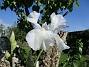 Iris Iris Germanica. De var lite sega i starten. De första åren blev det inga blommor. Men nu blir det mer och mer. De breder ut sig också. Doften är underbar!                                2020-05-27 Iris_0009