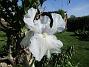 Iris Germanica. De var lite sega i starten. De första åren blev det inga blommor. Men nu blir det mer och mer. De breder ut sig också. Doften är underbar!                                (2020-05-27 Iris_0010)