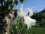 Iris Germanica. De var lite sega i starten. De första åren blev det inga blommor. Men nu blir det mer och mer. De breder ut sig också. Doften är underbar!                                (2020-05-27 Iris_0011)