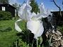 Iris Germanica. De var lite sega i starten. De första åren blev det inga blommor. Men nu blir det mer och mer. De breder ut sig också. Doften är underbar!                                (2020-05-27 Iris_0012)