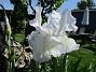 Iris Iris Germanica. De var lite sega i starten. De första åren blev det inga blommor. Men nu blir det mer och mer. De breder ut sig också. Doften är underbar!                                2020-05-27 Iris_0014