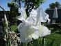 Iris Germanica. De var lite sega i starten. De första åren blev det inga blommor. Men nu blir det mer och mer. De breder ut sig också. Doften är underbar!                                (2020-05-27 Iris_0015)