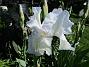 Iris Germanica. De var lite sega i starten. De första åren blev det inga blommor. Men nu blir det mer och mer. De breder ut sig också. Doften är underbar!                                (2020-05-27 Iris_0016)