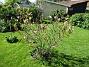 Min Magnolia brukar vara sen, men i år har den varit senare än vanligt. (2020-05-27 Magnolia_0030)
