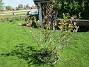 Min Magnolia brukar vara sen, men i år har den varit senare än vanligt.                                (2020-05-27 Magnolia_0047)
