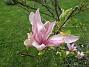 Magnolia Magnolia är en klar favorit i min trädgård. 2020-05-27 Magnolia_0067