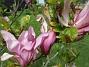 Magnolia är en klar favorit i min trädgård.                                (2020-05-27 Magnolia_0069)