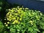 Den här ringkragen har blommat i flera veckor nu.                                (2020-05-27 Ringkrage_0057)