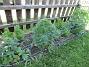 Här finns Studentnejlika, Stormhatt, Riddarsporre och Akleja. Jag har även flyttat hit en Allium-sort. Två stycken Krolliljor finns här också. (2020-05-27 Staket, extra_0027)