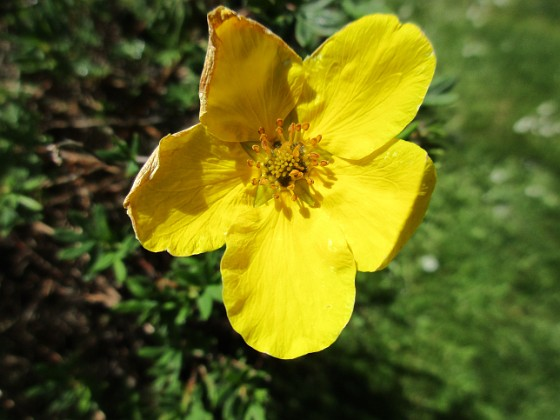 Ölandstok En enda liten blomma på min Ölandstok. 2020-06-01 Ölandstok_0012 Granudden Färjestaden Öland