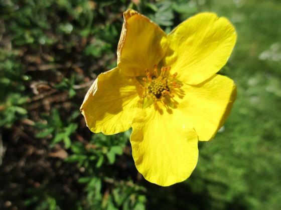 Ölandstok En enda liten blomma på min Ölandstok. 2020-06-01 Ölandstok_0014 Granudden Färjestaden Öland