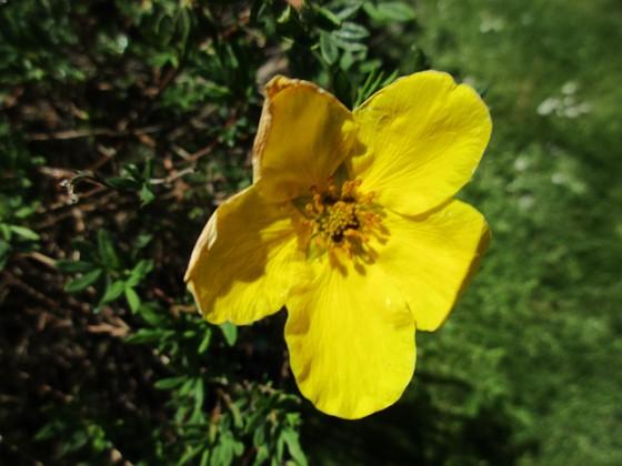 Ölandstok En enda liten blomma på min Ölandstok. 2020-06-01 Ölandstok_0016 Granudden Färjestaden Öland
