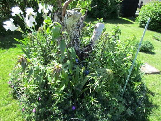 Björken Jag förväntar mej många blommor och höga stjälkar på mina Trädliljor som sattes förra våren. 2020-06-01 Björken_0080 Granudden Färjestaden Öland
