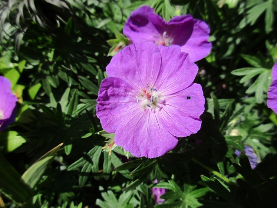 Blodnäva Undertill vid Björken har jag Blodnäva, Geranium Sanguineum. Den är tänkt att täcka jorden i rabatten under alla Trädliljor. 2020-06-01 Blodnäva_0076 Granudden Färjestaden Öland