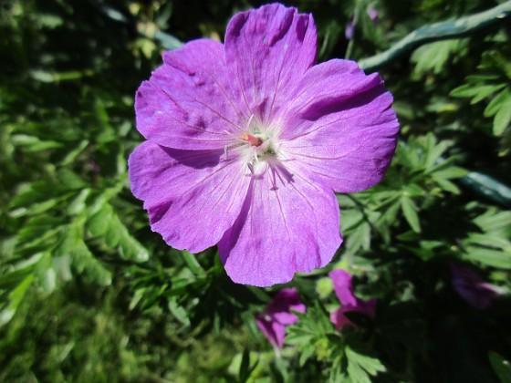 Blodnäva Undertill vid Björken har jag Blodnäva, Geranium Sanguineum. Den är tänkt att täcka jorden i rabatten under alla Trädliljor. 2020-06-01 Blodnäva_0077 Granudden Färjestaden Öland
