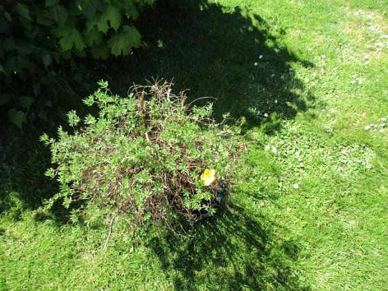 En enda liten blomma på min Ölandstok. 2020-06-01 IMG_0015 Granudden Färjestaden Öland