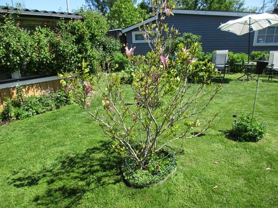 Det är inte så många blommor kvar på min Magnolia nu. Undertill har jag rensat ogräs idag och där kommer lite Bukettanemon och självsådda Sömntutor.  2020-06-01 IMG_0042 Granudden Färjestaden Öland