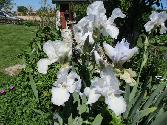 Iris Germanica { Dessa Trädgårdsiris, Iris Germanica, fick jag igår binda upp i blåsten. }