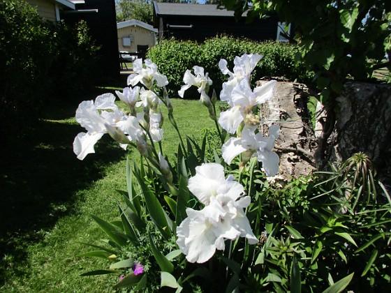Iris Germanica { Dessa Trädgårdsiris, Iris Germanica, fick jag igår binda upp pga den hårda blåsten. }
