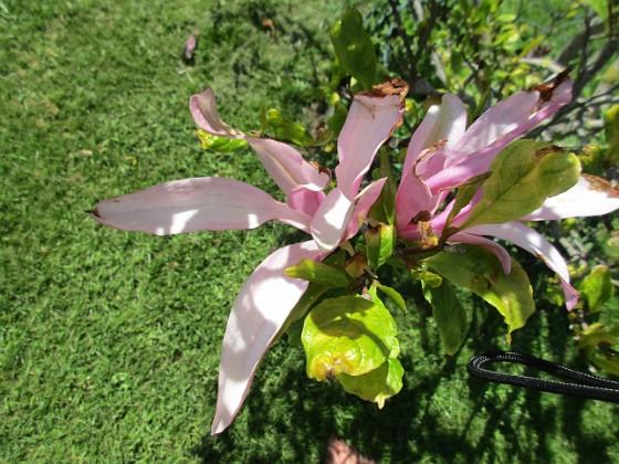 Magnolia Det är inte så många blommor kvar på min Magnolia nu.  2020-06-01 Magnolia_0047 Granudden Färjestaden Öland