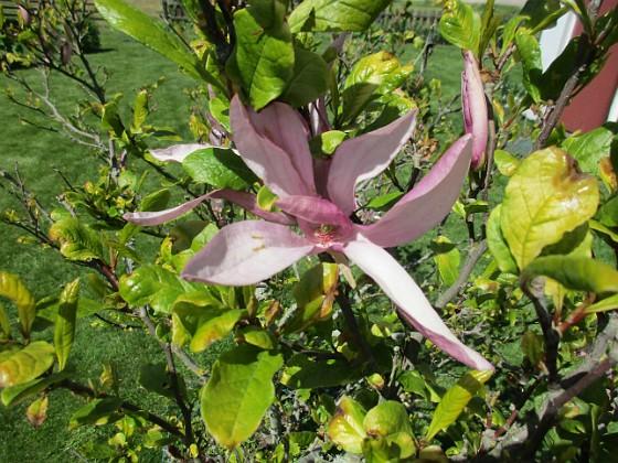 Magnolia Det är inte så många blommor kvar på min Magnolia nu.  2020-06-01 Magnolia_0049 Granudden Färjestaden Öland
