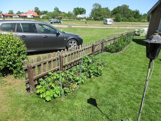 Staketet Stockrosen växer sakta i detta landet. Bättre går det på andra ställen i trädgården. 2020-06-01 Staketet_0003 Granudden Färjestaden Öland