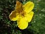 En enda liten blomma på min Ölandstok. (2020-06-01 Ölandstok_0013)