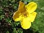 En enda liten blomma på min Ölandstok. (2020-06-01 Ölandstok_0014)