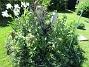Jag förväntar mej många blommor och höga stjälkar på mina Trädliljor som sattes förra våren. (2020-06-01 Björken_0080)