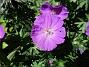 Undertill vid Björken har jag Blodnäva, Geranium Sanguineum. Den är tänkt att täcka jorden i rabatten under alla Trädliljor. (2020-06-01 Blodnäva_0076)