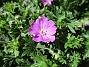 Undertill vid Björken har jag Blodnäva, Geranium Sanguineum. Den är tänkt att täcka jorden i rabatten under alla Trädliljor. (2020-06-01 Blodnäva_0078)