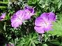 Undertill vid Björken har jag Blodnäva, Geranium Sanguineum. Den är tänkt att täcka jorden i rabatten under alla Trädliljor. (2020-06-01 Blodnäva_0079)