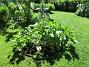 Jag följde rådet att plocka bort de nedersta bladen på Stockrosorna. Det kanske hjälper mot malvarosten. (2020-06-01 Granudden_0021)