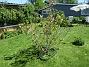 Det är inte så många blommor kvar på min Magnolia nu. Undertill har jag rensat ogräs idag och där kommer lite Bukettanemon och självsådda Sömntutor.  (2020-06-01 IMG_0042)