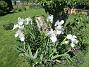Dessa Trädgårdsiris, Iris Germanica, fick jag igår binda upp i blåsten. (2020-06-01 Iris Germanica_0053)