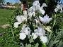 Dessa Trädgårdsiris, Iris Germanica, fick jag igår binda upp i blåsten. (2020-06-01 Iris Germanica_0054)