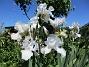 Dessa Trädgårdsiris, Iris Germanica, fick jag igår binda upp i blåsten. (2020-06-01 Iris Germanica_0055)