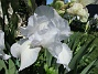 Dessa Trädgårdsiris, Iris Germanica, fick jag igår binda upp i blåsten. (2020-06-01 Iris Germanica_0056)