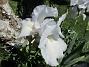 Dessa Trädgårdsiris, Iris Germanica, fick jag igår binda upp i blåsten. (2020-06-01 Iris Germanica_0058)