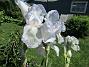Dessa Trädgårdsiris, Iris Germanica, fick jag igår binda upp i blåsten. (2020-06-01 Iris Germanica_0059)