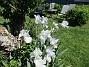 Dessa Trädgårdsiris, Iris Germanica, fick jag igår binda upp i blåsten. (2020-06-01 Iris Germanica_0060)