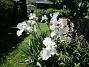 Dessa Trädgårdsiris, Iris Germanica, fick jag igår binda upp pga den hårda blåsten. (2020-06-01 Iris Germanica_0074)
