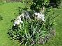Björken Här vid Björken blommar just nu Blodnäva samt Iris (Germanica). Här blir det som synes en massa Liljor snart.                                2020-06-09 Björken_0034