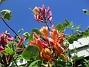 Kaprifol Kaprifol mot blå himmel är extra tjusigt!                                2020-06-09 Kaprifol_0024