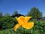Sömntuta En liten Sömntuta har börjat blomma. Jag satte frön för en massa år sedan men nu fröar den av sig varje går. Den blir extra vacker mot blå himmel.                                2020-06-09 Sömntuta_0039